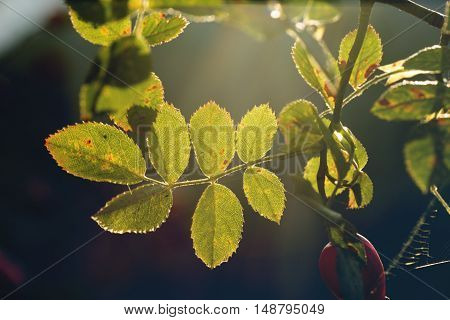 autumn nature background. Leaves of dog roses at sunset in garden or park. Pretty autumn nature background