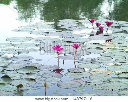 Water lilies Nymphaea lotus or Nymphaeaceae in a pool