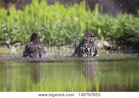 Starling is washed in the pond of the Roman coast in Italy