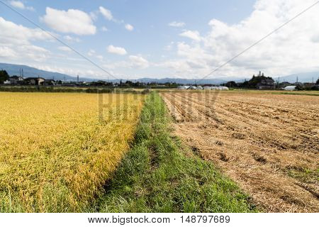 Comparison Between Golden Paddy Rice Against Barren Brown Harvested Field