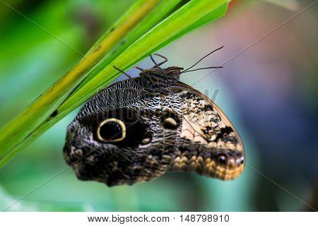 Tropical butterfly caligo owl on the leaf. Macro photography of wildlife.