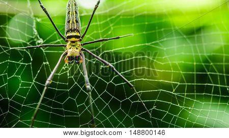 female Golden Web Spider Nephila pilipes . Thailand.