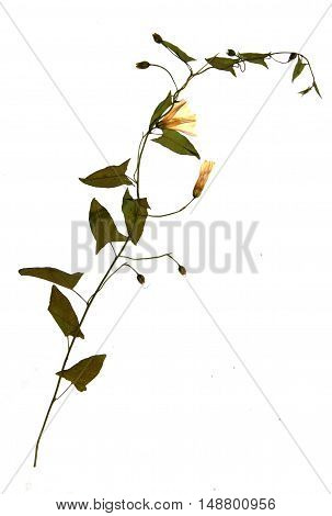 Pressed and dried flowers of field bindweed (Convolvulus arvensis) on stem with leaves isolated on white background for use in scrapbooking floristry (oshibana) or herbarium.