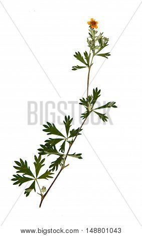 Pressed and dried flower of meadow buttercup (Ranunculus acris) on stem with leaves isolated on white background for use in scrapbooking floristry (oshibana) or herbarium.