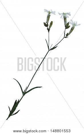 Pressed and dried flowers of nightflowering silene (Silene noctiflora) on stem with leaves isolated on white background for use in scrapbooking floristry (oshibana) or herbarium.