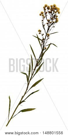 Pressed and dried flowers of wild herbaceous plant on stem with leaves isolated on white background for use in scrapbooking floristry (oshibana) or herbarium.