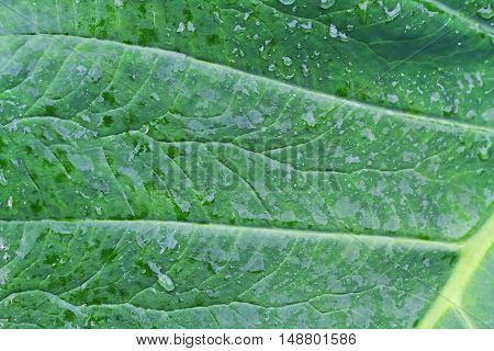 Close Up Green Leaf And Wet From Rain .