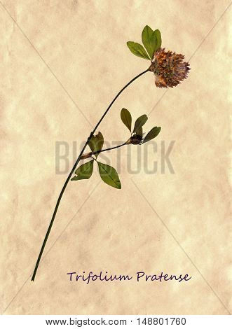 Herbarium from pressed and dried flower of Red Clover on antique brown craft paper with Latin subscript Trifolium Pratense.