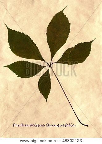 Herbarium from pressed and dried leaf of Virginia creeper on antique brown craft paper with Latin subscript Parthenocissus Quinquefolia.