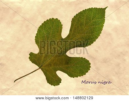 Herbarium from pressed and dried leaf of mulberry on antique brown craft paper with Latin subscript Morus nigra.