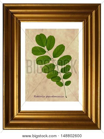 Herbarium from pressed and dried leaf of Black Locust on white background with Latin subscript (Robinia pseudoacacia) in the frame.