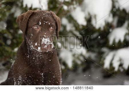 Brown labrador upset at the falling snow