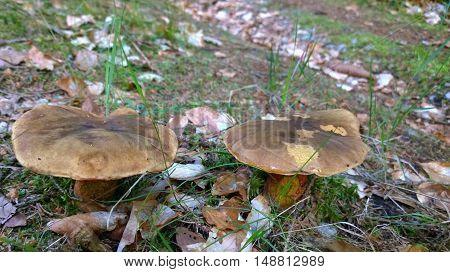 view of mushrooms southern Bohemia Czech Republic