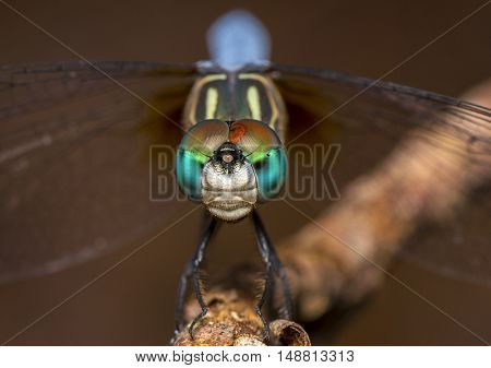 compound eyes of a dragon fly in close
