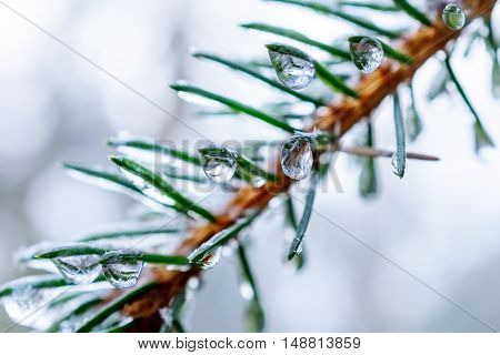 Spruce twigs. On pins and needles hanging frozen droplets of ice. Shallow depth of field, abstract background.