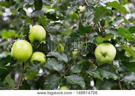 green ripe apples on tree branch in garden