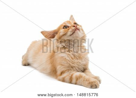 small ginger kitten isolated on white background