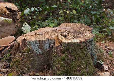 Pine stump, result of tree felling. Total deforestation, cut forest. Oxygen reduction