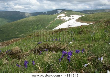 Violets in the mountains