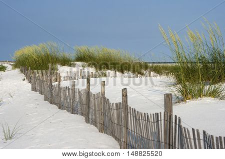 Sand fence among ripe sea oaats helps prevent erosion in dunes on Santa Rosa Island in Pensacola Florida.