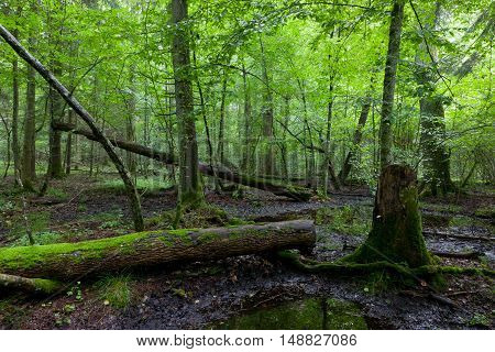 Deciduous stand in springtime with broken tree moss wrapped lying in foreground, Bialowieza Forest, Poland, Europe
