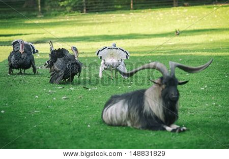 Three turkey gobblers display feathers