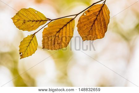 Brown Battered Autum Leaves Of Beech