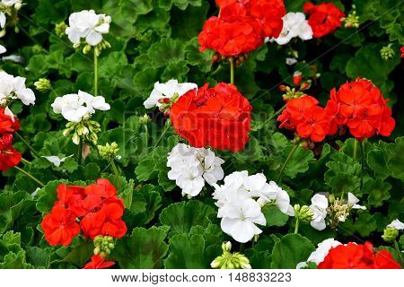red and white flowers in Polish colors