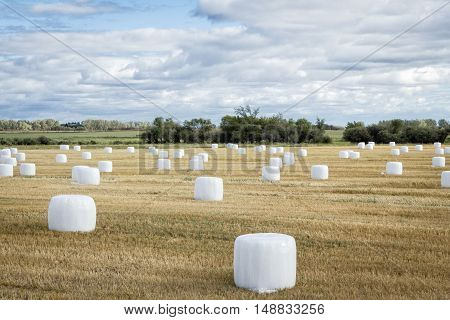 horizontal image of a swathed field full of scattered round bales wrapped in white plastic with trees lining the horizon in the early fall time.