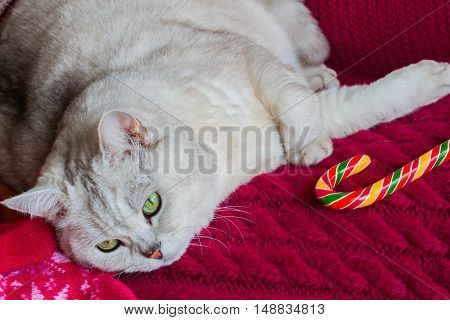 Lying adult white cat with a red knitted background with bright Christmas lollipop