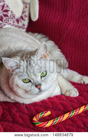 Lying adult white cat with a red knitted background with bright Christmas lollipop, vertical