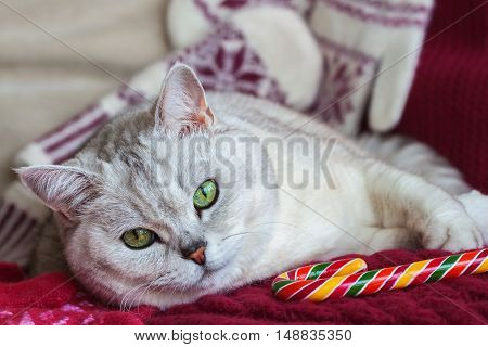 Lying pensive cat on a red background with a knitted mittens with bright Christmas lollipop