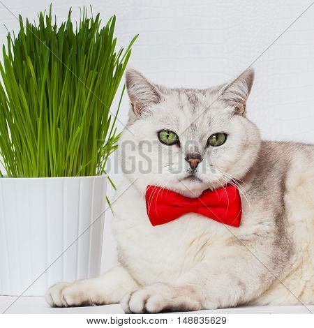 Portrait of an adult white cat with beautiful green eyes and red bowtie on a white background with green grass, square