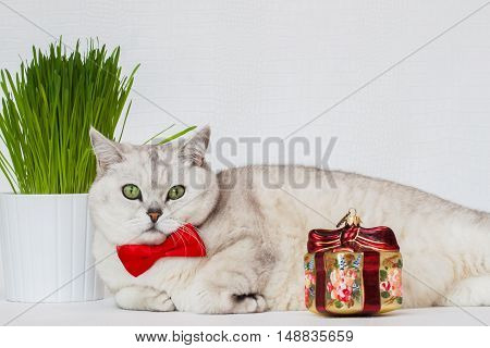 Adult white cat with a red bow tie on a white background with green grass and the Christmas decoration in the form of a gift. With space for your text