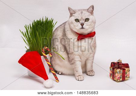 Adult white cat with a red bow tie on a white background with green grass, Christmas ornament in the form of a gift, a lollipop and a Santa's hat