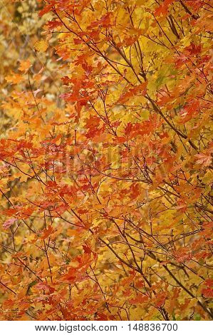 crisp, fall, colorful leaves changing just before they hit the ground.