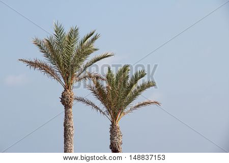 foreground of two palm trees with the sky as background in san juan beach alicante-spain