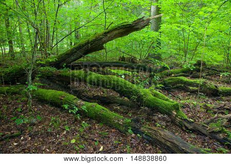 Summertime forest landscape with broken trees of Landscape Reserve, Bialowieza Forest, Poland, Europe