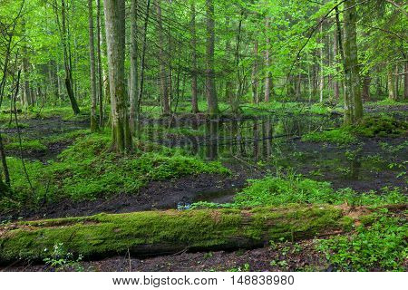 Springtime sunrise in wet deciduous stand with standing water, Bialowieza Forest, Poland, Europe
