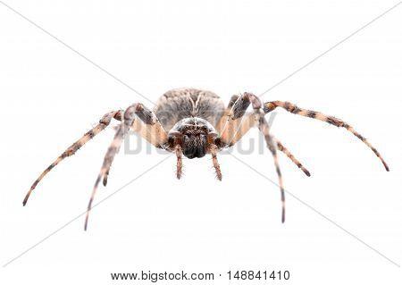 Brown Spider On A White Background