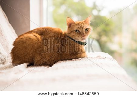 Lovely ginger cat on a sofa by the window, cozy home interior with pet