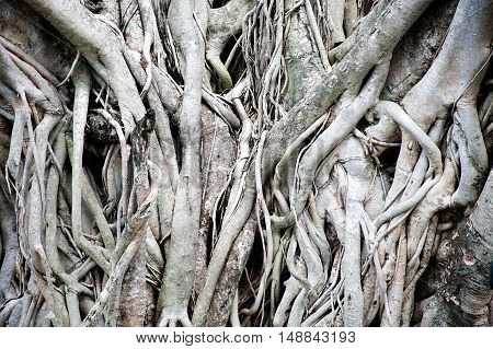 Old Banyan tree roots texture and background.