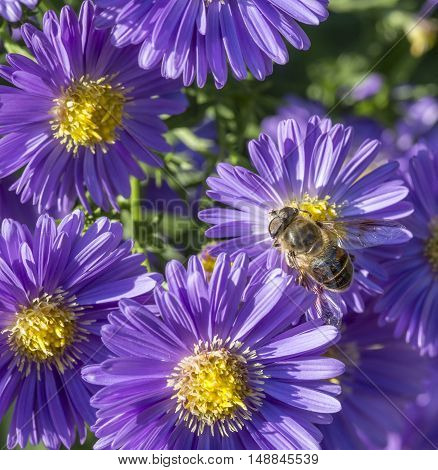 violet aster with bee looking for pollen