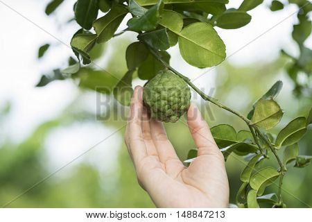 close up woman hand holding bergamot on tree