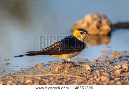 Red-rumped Swallow Taking Mud