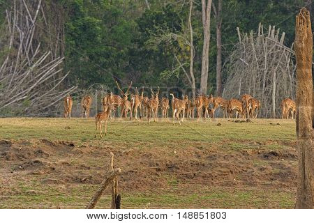Spotted Deer Herd on the Kabini River in Nagerhole National Park in India