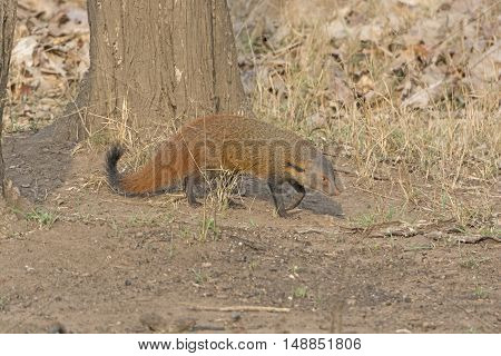 Striped Necked Mongoose in the Forest in Nagarhole National Park in India