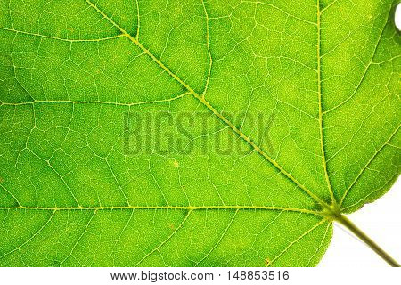 A green leaf of maple tree showing its textures
