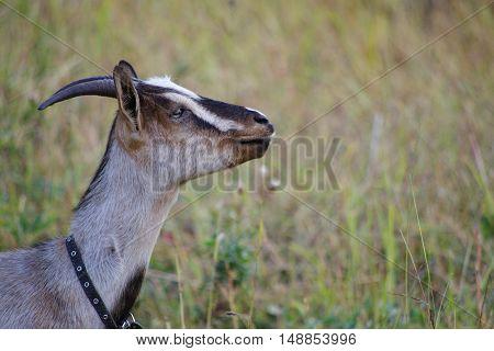 Nanny goat portrait. Home goat graze on free pasture
