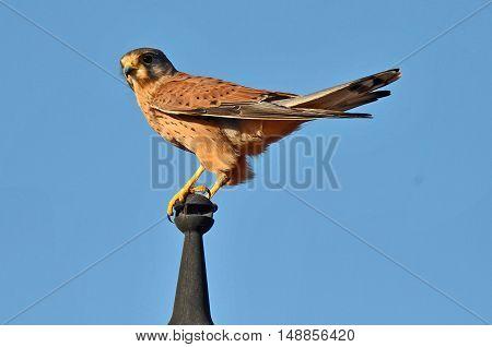 Kestrel Leaning On A Pole